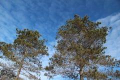 Sosna z niebieskim niebem Zdjęcie Royalty Free