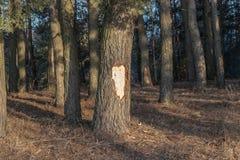Sosna z siekającym korowatym mężczyzny wandalem w lesie fotografia stock