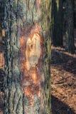 Sosna z siekającym korowatym mężczyzny wandalem w lesie obraz stock