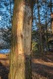 Sosna z siekającym korowatym mężczyzny wandalem w lesie zdjęcia royalty free