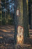 Sosna z siekającym korowatym mężczyzny wandalem w lesie fotografia royalty free