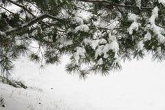 sosna zakrywający lasowy śnieg ilustracji