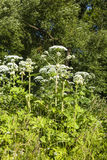 Sosnovsky's hogweed. Heracleum Sosnowskyi or Sosnowsky's Hogweed,is a flowering plant .All parts of plant contain the intense toxic allergen furanocoumarin royalty free stock photography