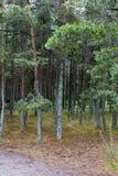 Sosnovy博尔(杉木森林) 图库摄影