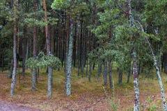 Sosnovy博尔(杉木森林) 库存图片