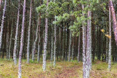 Sosnovy博尔(杉木森林) 免版税库存照片