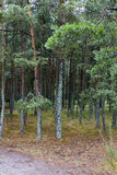 Sosnovy Bor (pine forest) Stock Photography