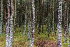 Sosnovy Bor (pine forest) Royalty Free Stock Photo