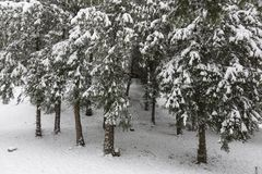 sosnowa czas drzew zima Zdjęcie Royalty Free