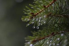 Sosnowa gałąź z wodnym dropplet Zdjęcie Royalty Free