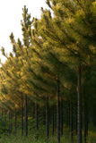 Sosnowa plantacja Fotografia Stock