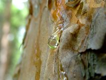 sosnowa łzy Fotografia Royalty Free