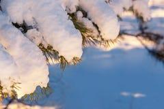 Sosnowe gałąź pod śniegiem, Zima lasu tło obrazy royalty free