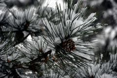 Sosnowe igły i rożek w zimie Zdjęcie Stock