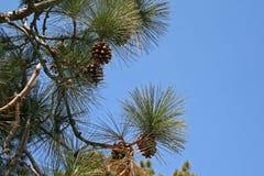 SOSNOWE igły I rożki NA drzewie Zdjęcie Stock