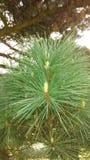 Sosnowe igły na drzewie z małymi sosnowymi rożkami fotografia stock
