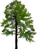Sosnowej ampuły zieleni ciemny drzewo odizolowywający na bielu ilustracja wektor