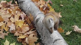 Sosnowej kuny obsiadanie na łasowaniu i drzewie zdjęcie wideo