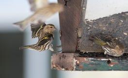 Sosnowi czyżyków finches w wiosny konkurowaniu dla przestrzeni i jedzenia przy dozownikiem w Ontario północnych drewnach - (Cardu zdjęcia stock