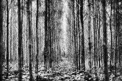 Sosnowi drewna Zdjęcie Stock