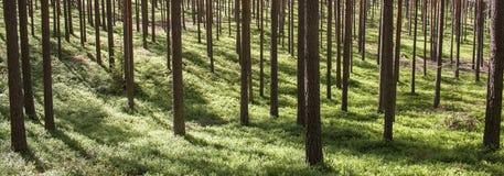 Sosnowi lasowi bagażniki na pogodnym tle Zdjęcia Stock