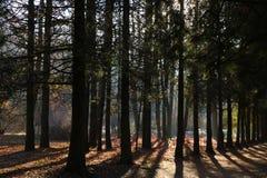 Sosnowi lasy w zwrotnikach są bogaci tworzą światu tlen w kształtują teren zielonego tło zdjęcie royalty free