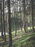 Sosnowi lasy wzdłuż rzeki Obrazy Stock