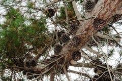 Sosnowi rożki siedzi na gęstej sośnie rozgałęziają się Zdjęcie Royalty Free