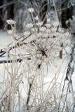 Sosnowsky hogweed (Heracleum sosnowskyi) umbel 库存照片