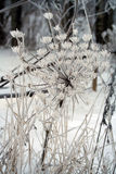 Sosnowsky hogweed (Heracleum sosnowskyi) umbel. Covered with snow Stock Photos