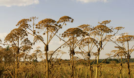 Sosnowsky's Hogweed Stock Images