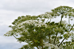 Sosnowsky's hogweed flowering plant. Giant blossoms of sosnowsky's hogweed (Heracleum sosnowskyi). It is a highly invasive and dangerous toxic plant royalty free stock images