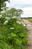 Sosnowsky's hogweed. Giant blossoms of sosnowsky's hogweed (Heracleum sosnowskyi). It is a highly invasive and dangerous toxic plant stock photography