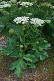 Sosnowsky's hogweed (Heracleum sosnowskyi) is a flowering plant in the family Apiaceae. Originally native to Caucasus stock photo