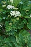 Sosnowsky's hogweed (Heracleum sosnowskyi) is a flowering plant in the family Apiaceae. Originally native to Caucasus stock photography