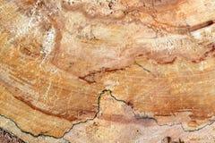 Sosnowy burl drewno zdjęcie royalty free