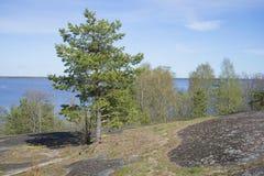 Sosnowy dorośnięcie na skałach na wiosna dniu Zatoka Finlandia wybrzeże blisko miasta Vysotsk Obraz Stock