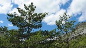 Sosnowy góra wiatru niebo Altai zbiory
