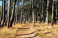 sosnowy śladu drzewo Fotografia Stock
