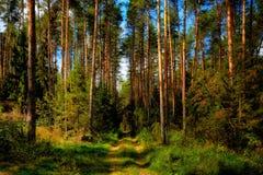 Sosnowy las obrazy stock