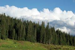 Sosnowy las Obraz Stock