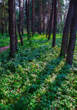 Sosnowy las Obraz Royalty Free