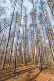 Sosnowy las Zdjęcia Stock