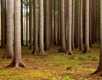 Sosnowy las Zdjęcie Royalty Free