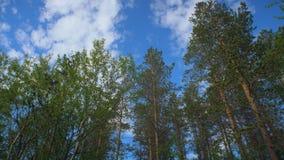 Sosnowy las zdjęcie wideo