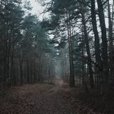 Sosnowy las gubjący w mgle, wiodąca droga zdjęcie stock