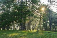 Sosnowy las i łąka Zdjęcie Stock