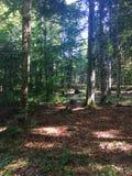 Sosnowy las inside przy słonecznym dniem fotografia stock