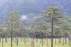 Sosnowy las na górze Obraz Royalty Free