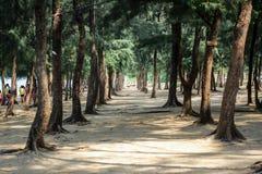 Sosnowy las na plaży zdjęcia stock